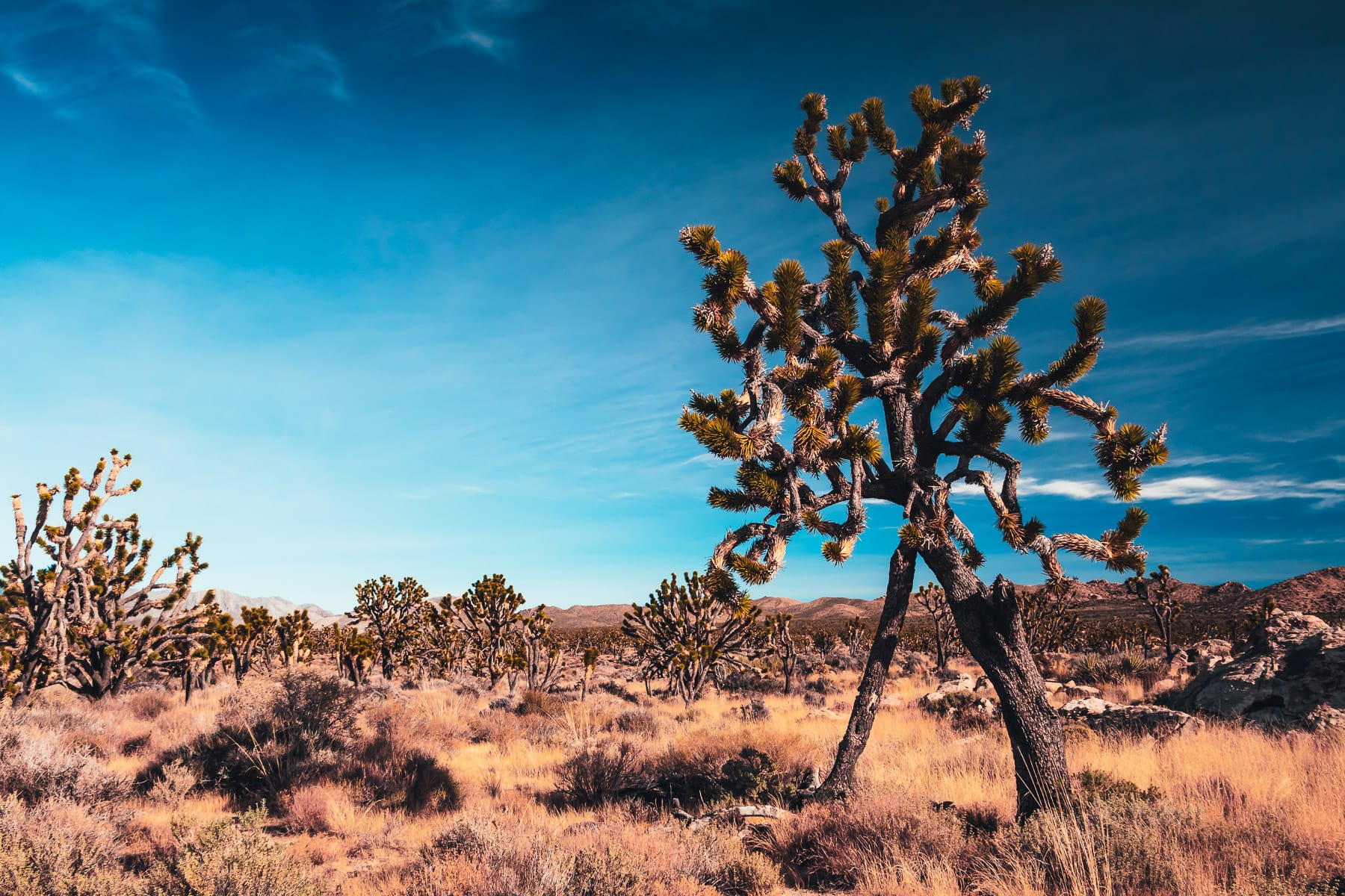 An arid expanse of Joshua trees stretches to the far mountains at California's Mojave National Preserve.