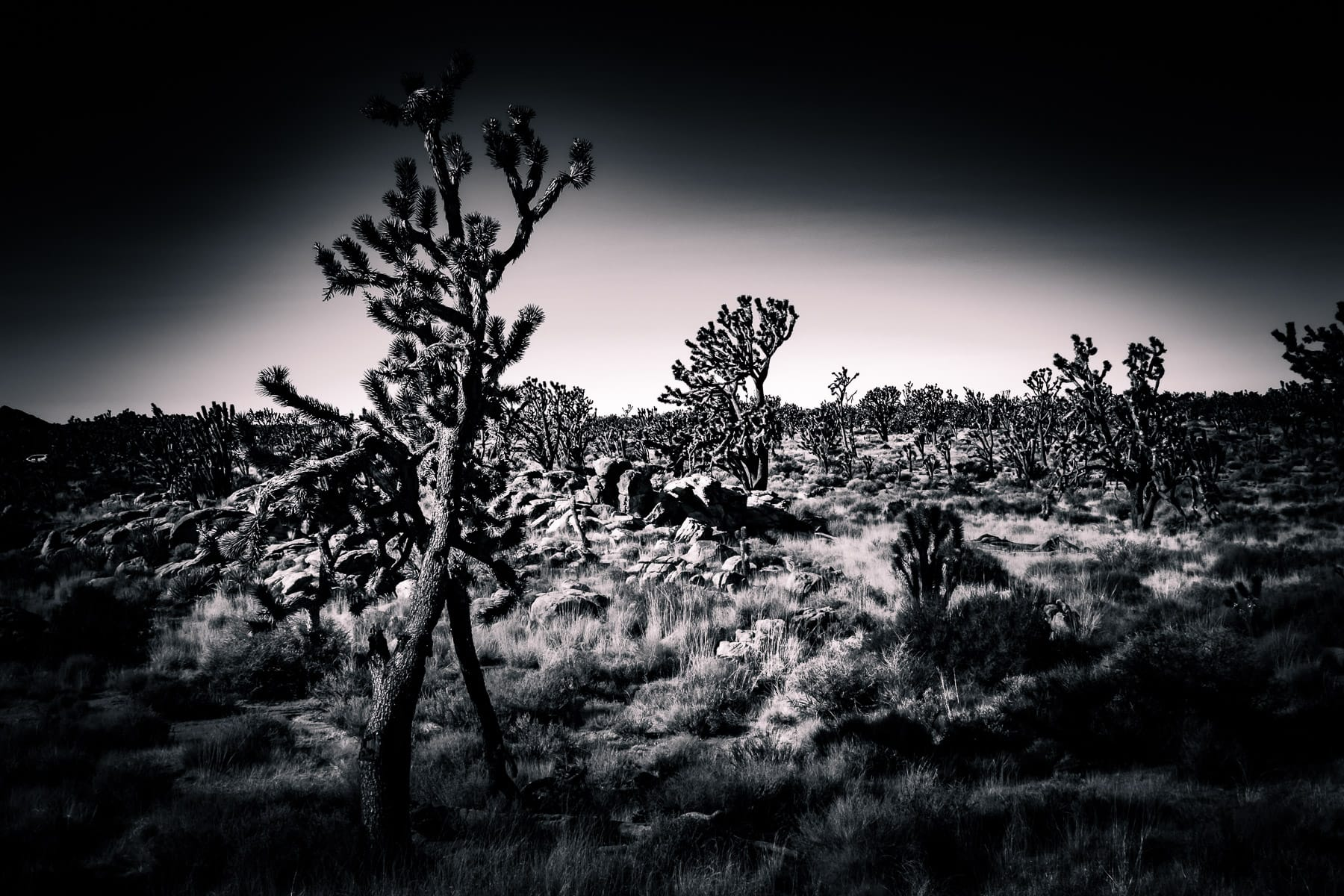Joshua trees stretch into the distance at California's Mojave National Preserve.