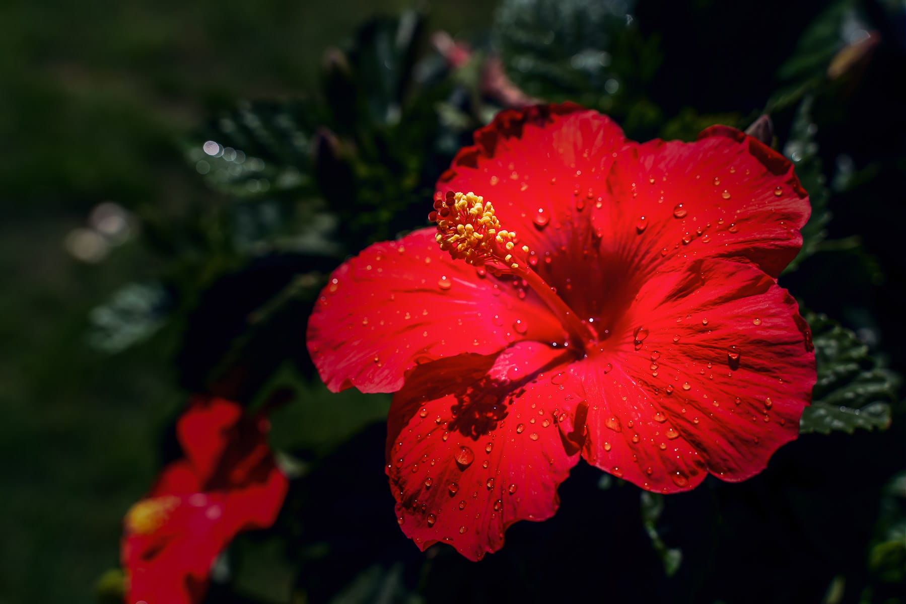 A red hibiscus flower spotted in a McKinney, Texas, garden.