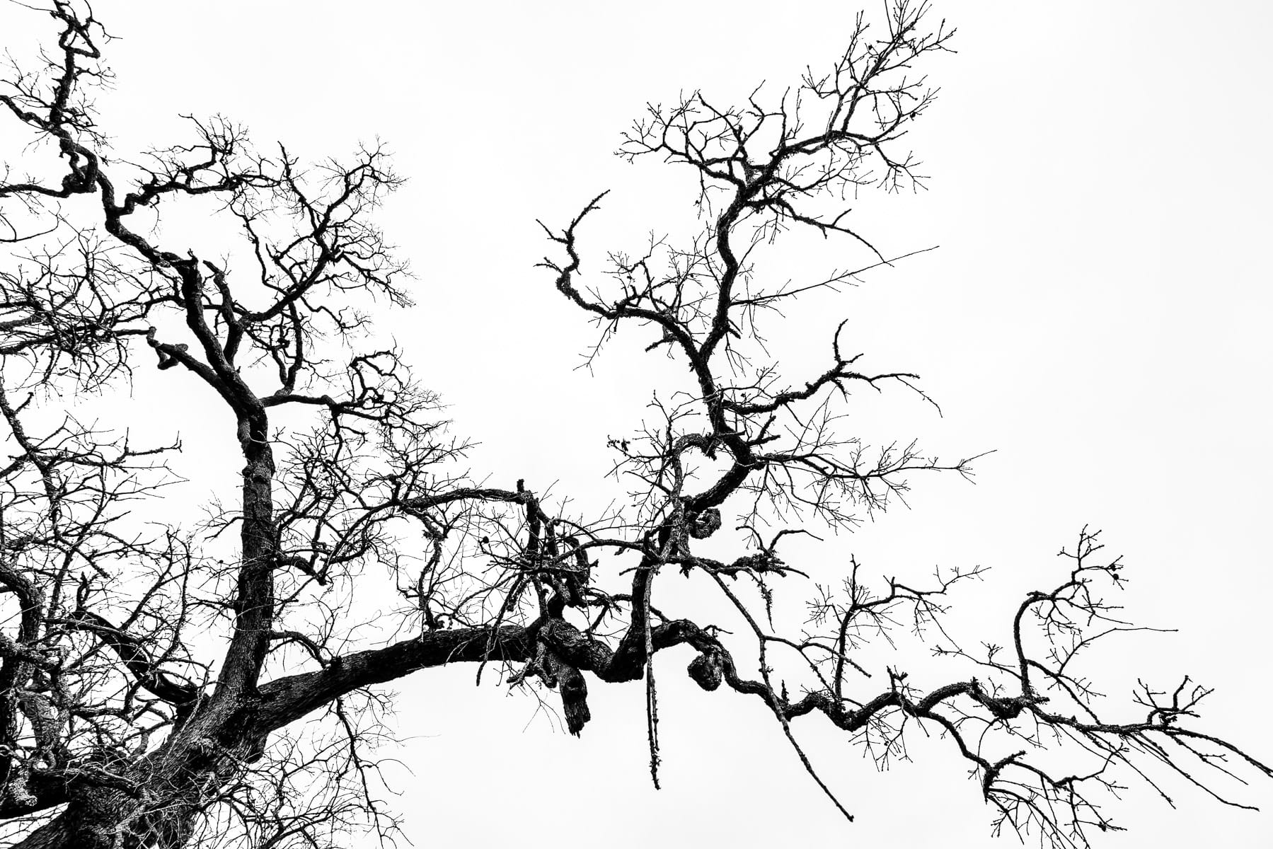 Tree branches crackle across the overcast sky at Fort Parker State Park, Texas.