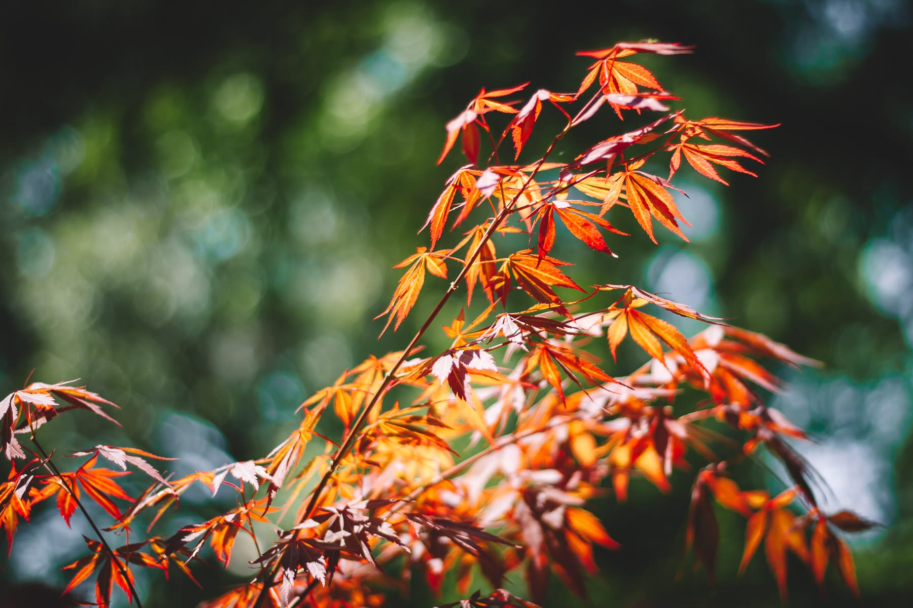 Detail of a Japanese Maple tree spotted in a Tyler, Texas, garden.