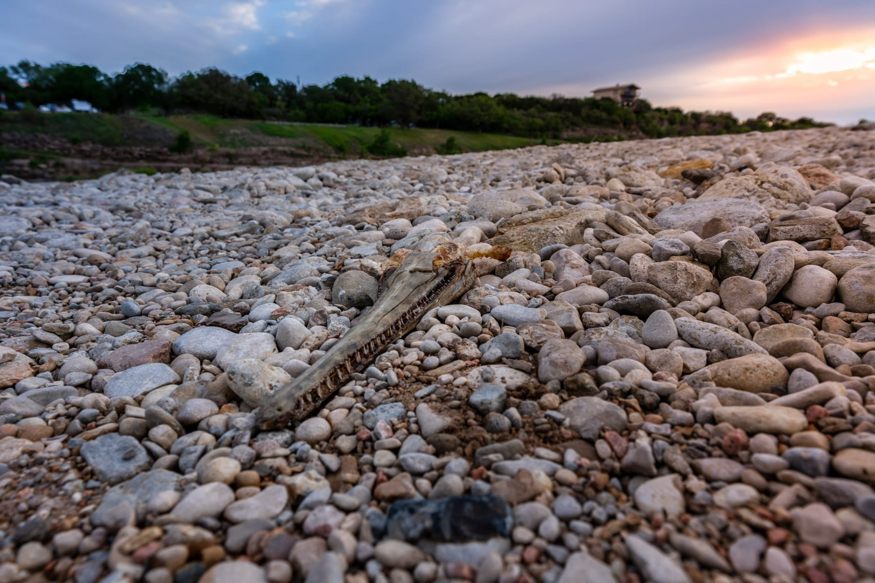 An alligator gar skull atop river rocks along the banks of the Llano River near Mason, Texas.