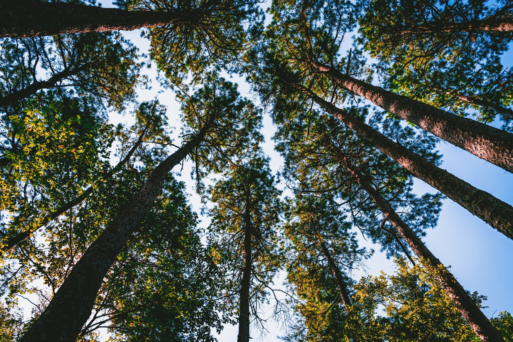 Pine trees grow towards the sky at East Texas' Lake Bob Sandlin State Park.