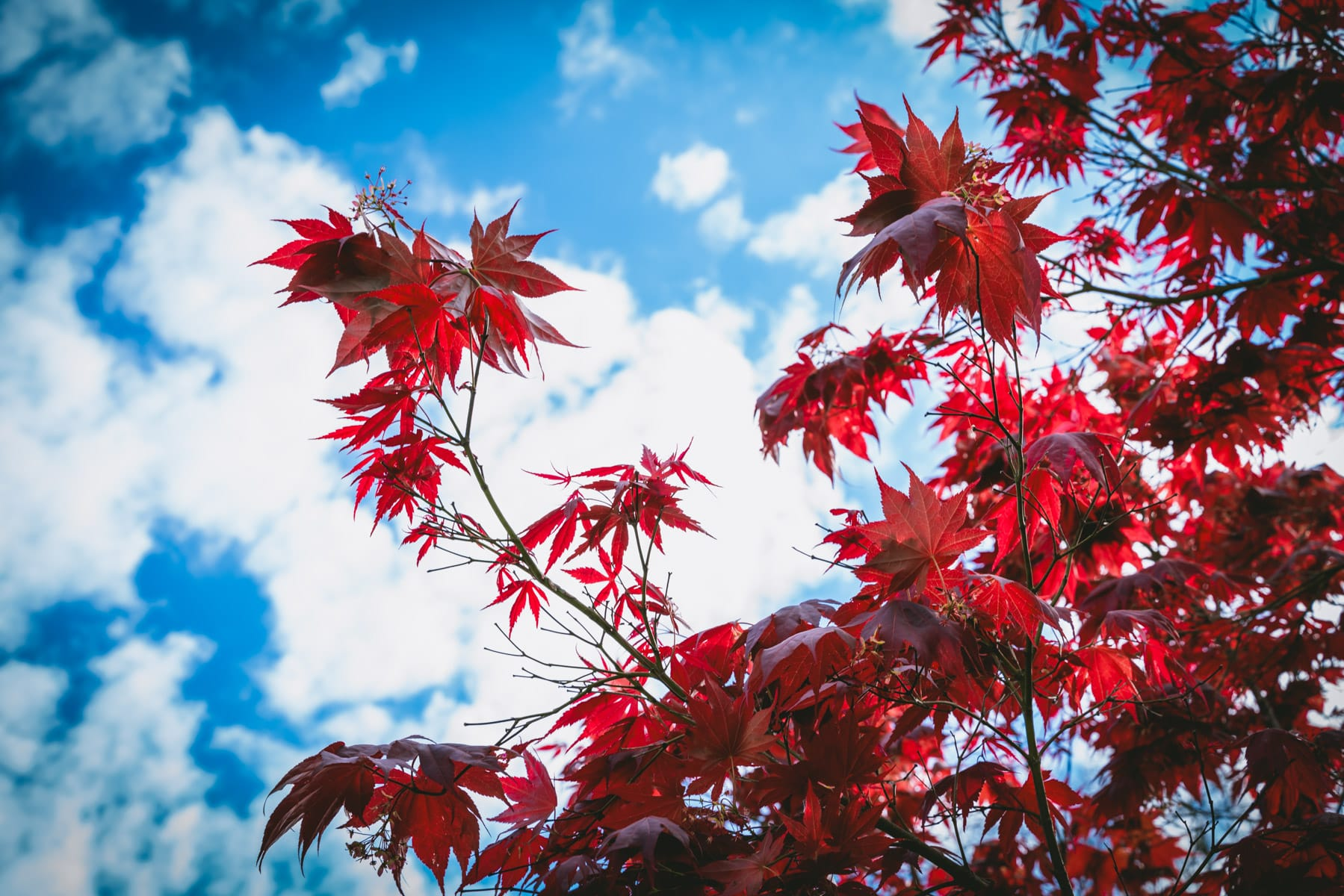 Japanese Maple leaves spotted in a Tyler, Texas, garden.