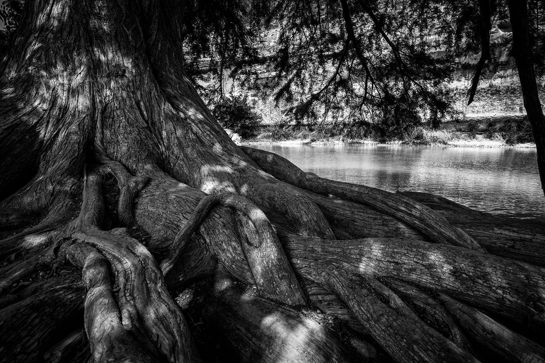 The massive roots of a tree along the banks of the Guadalupe River at Texas' Guadalupe River State Park.