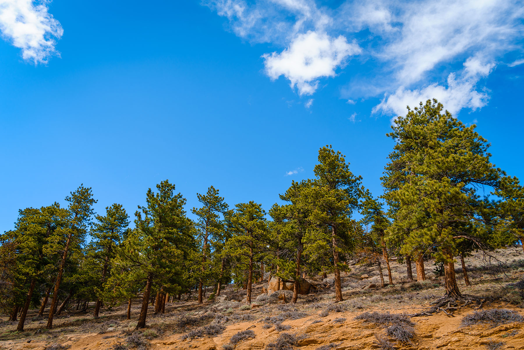 Pine trees grow on a bluff in Colorado's Rocky Mountain National Park.