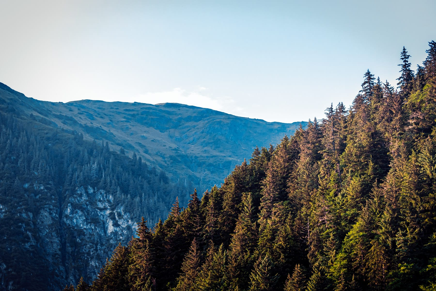 Pine trees grow in the wilderness forested mountains near Juneau, Alaska.
