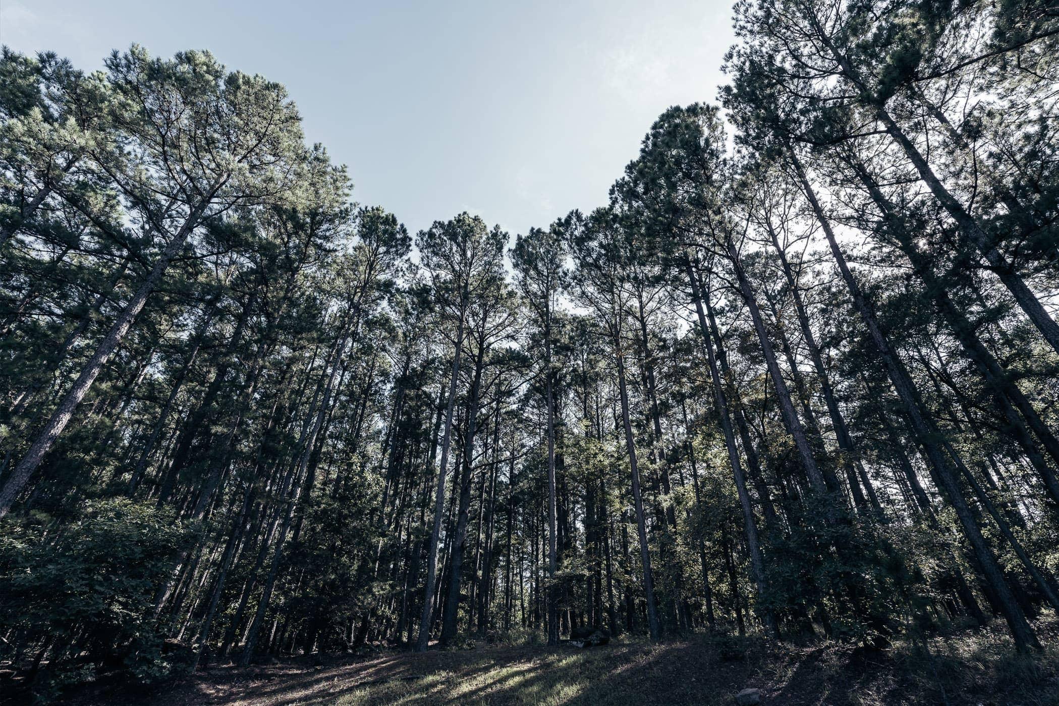 Pine trees grow tall at Oklahoma's McGee Creek State Park.