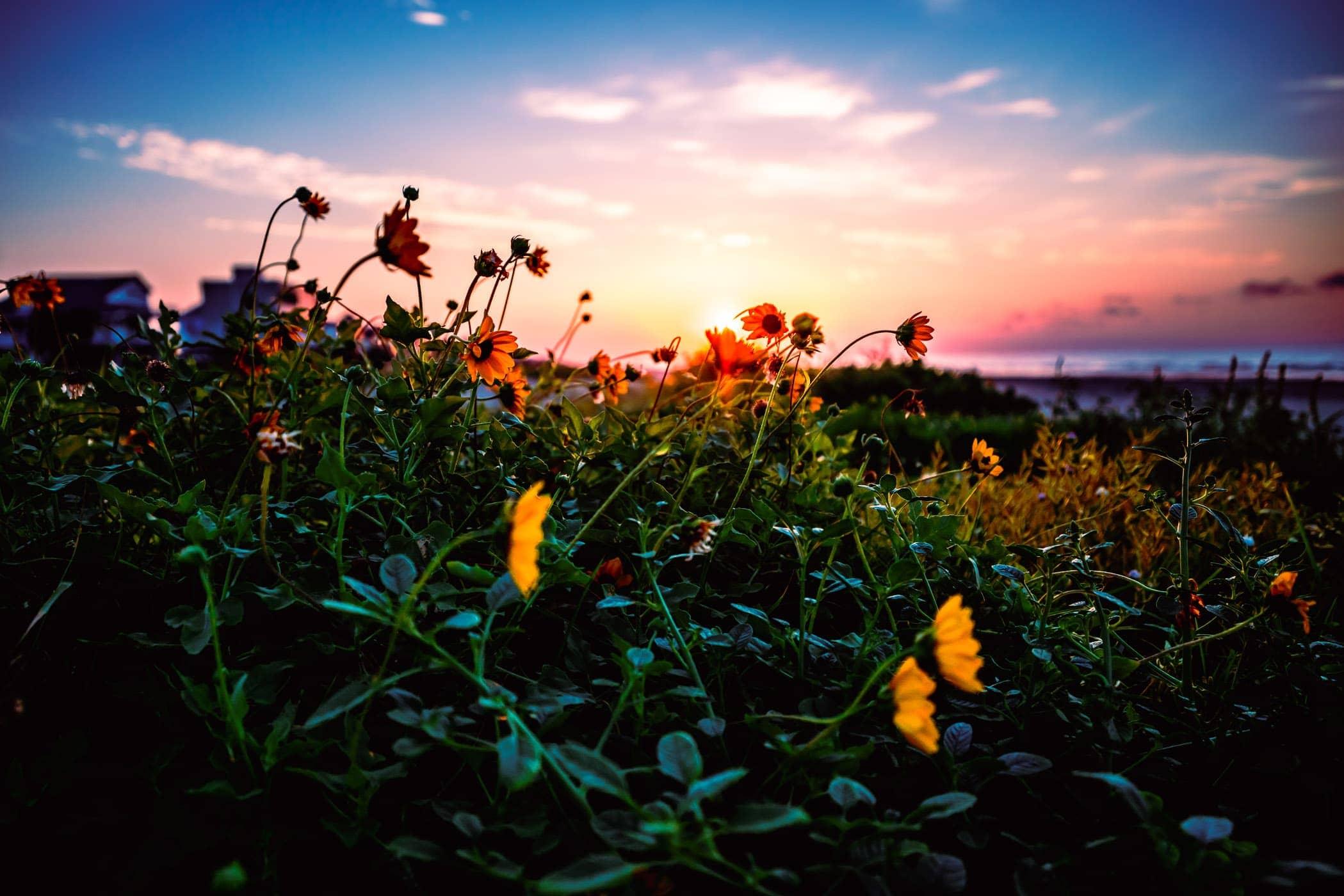 Flowers amongst the sand dunes on Texas' Galveston Island.