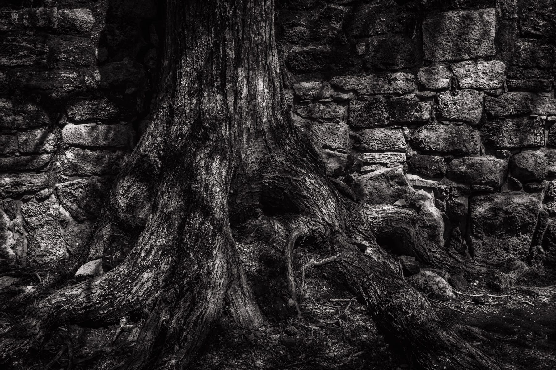 A tree grows amongst the Mayan ruins at San Gervasio, Cozumel, Mexico.
