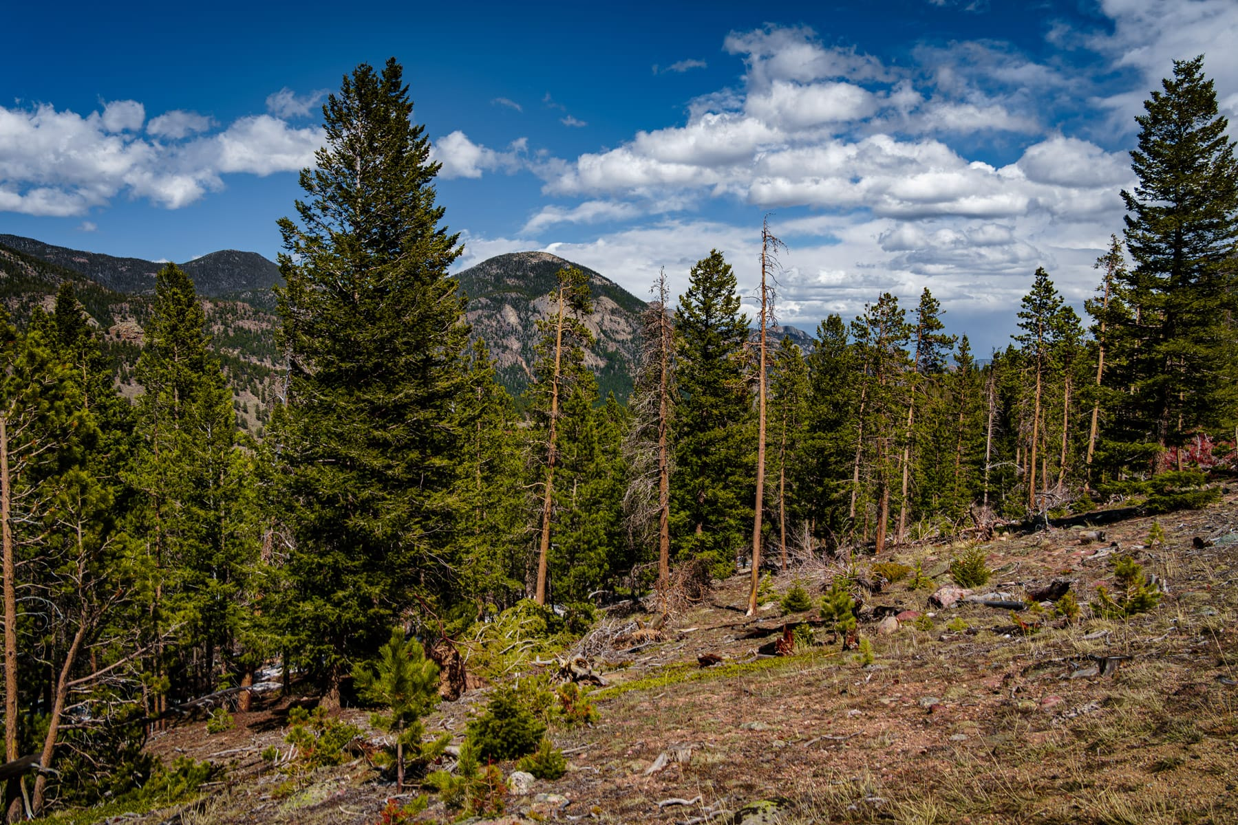 Evergreen trees grow on the side of a mountain at Colorado's Rocky Mountain National Park.