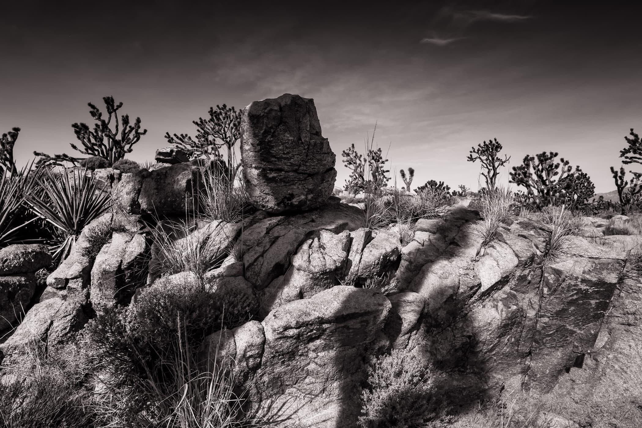 A Joshua tree casts as shadow on rocks at California's Mojave National Preserve.