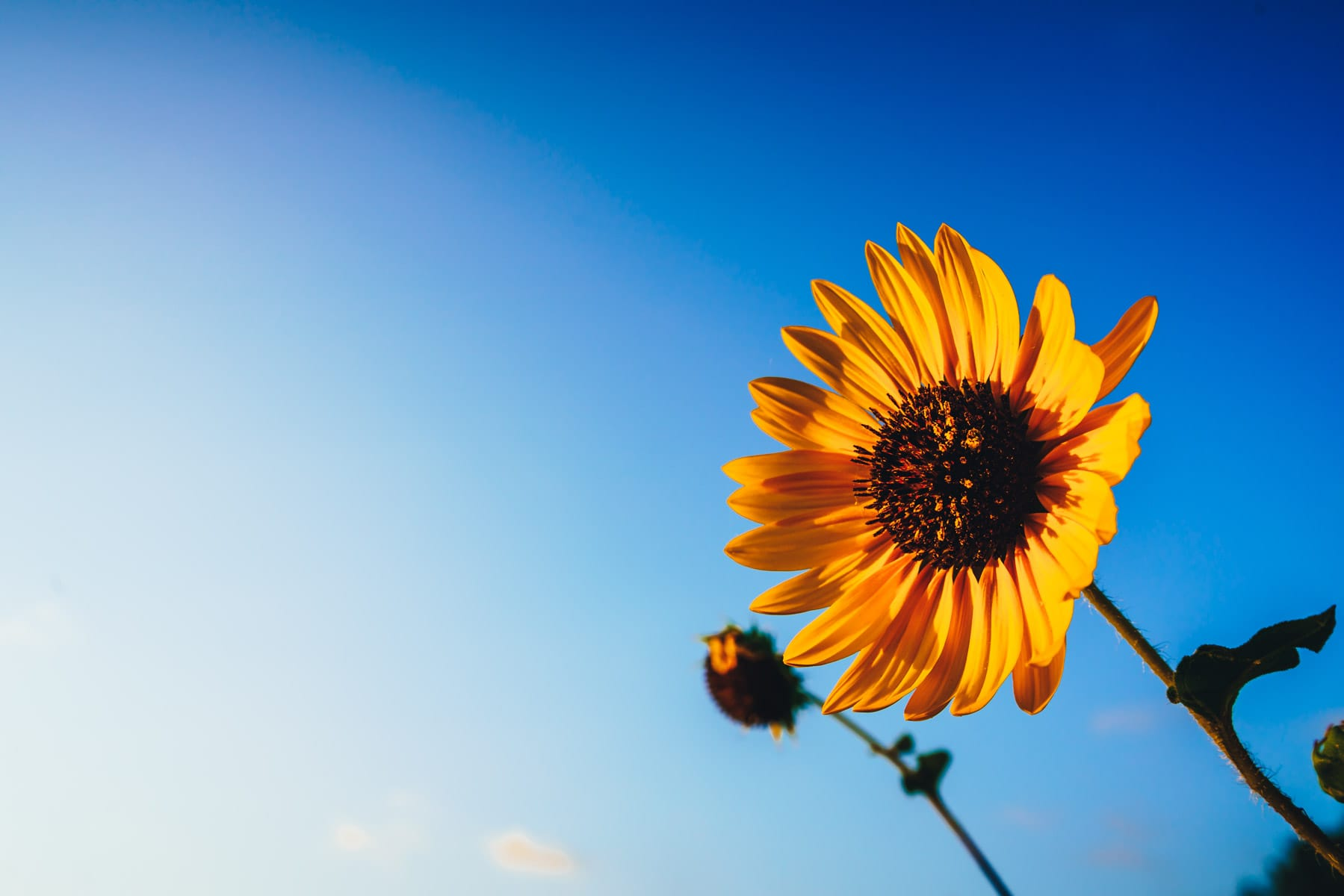 A sunflower faces the morning sun in McKinney, Texas.