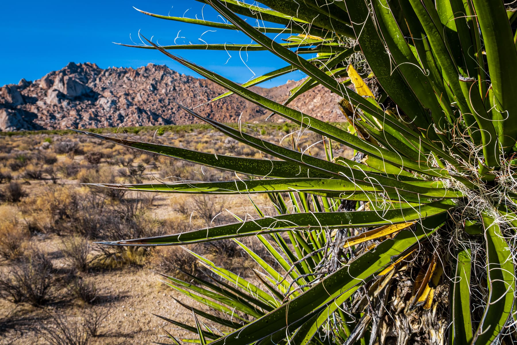 Detail of a yucca growing in California's Mojave National Preserve.
