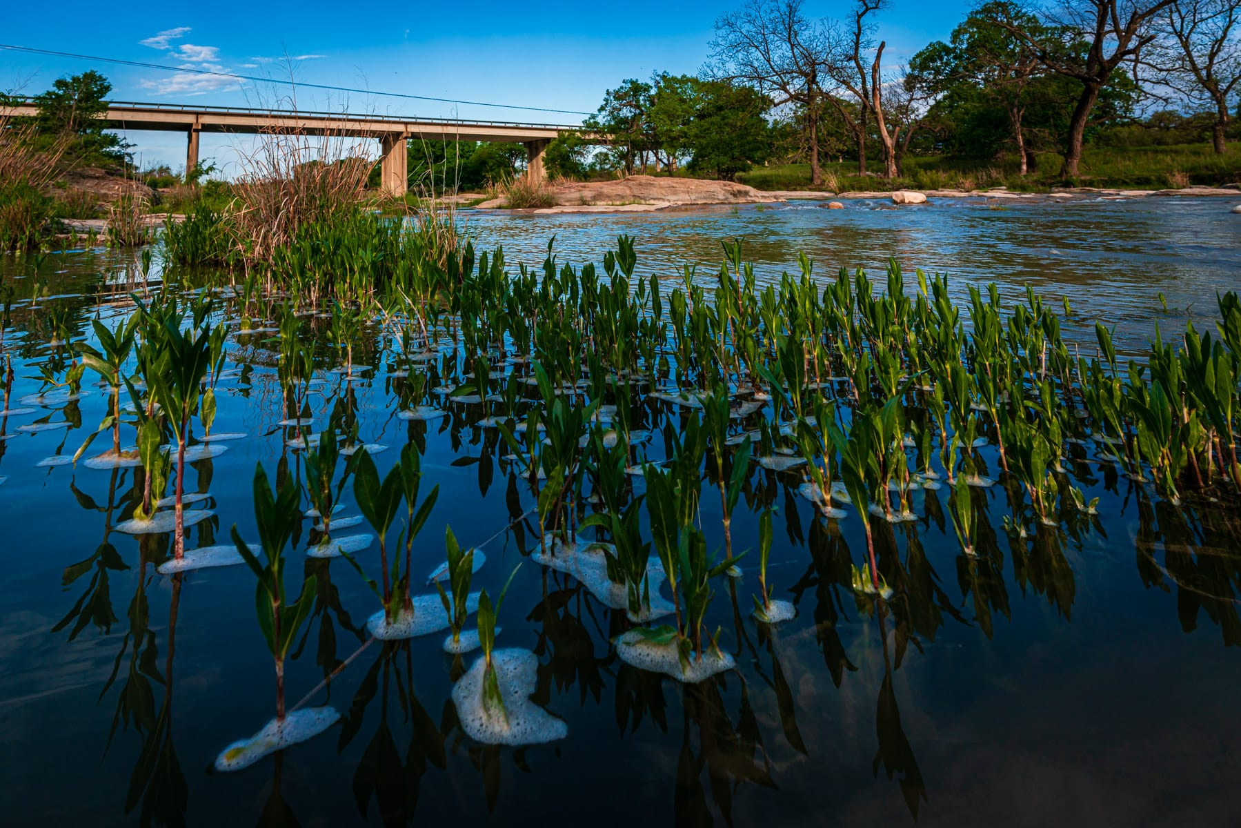 Plants sprout from the San Saba River near Brady, Texas.